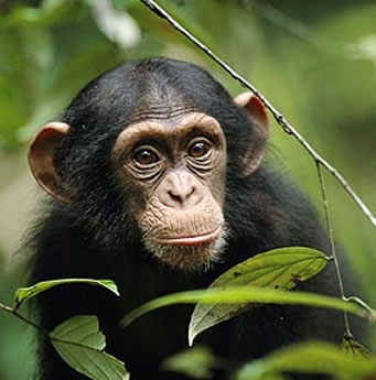 Chimpanzee - Ngamba Islands Tour
