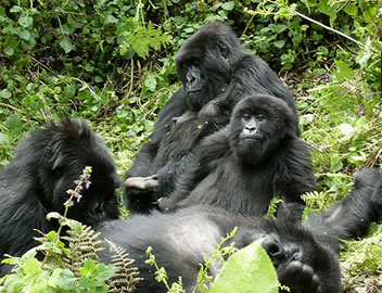 Mountain Gorilla Family - Susa Group