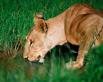 Lion - Favourite to Wildlife Safari Enthusiasts